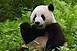 Harminchét éves a legidősebb, fogságban élő óriáspanda