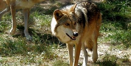 Egyelőre se híre, se hamva a pécsi állatkertből szombaton megszökött farkasnak