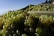 Vegyszerek nélkül is ellenállnak a gombabetegségeknek a PTE kísérleti szőlőfajtái