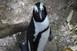 Állatvédők loptak ki egy pingvint egy állatkertből