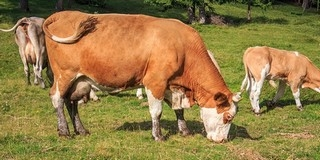 Akinek tehene van, ismét ne legeltesse