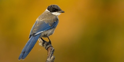 Önzetlenül segítőkész madarak a kékszarkák