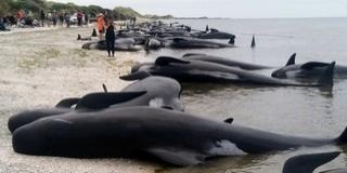 Több mint 400 delfin vetődött partra Új-Zélandon