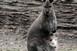 Albínó Benett-kenguru született Szegeden