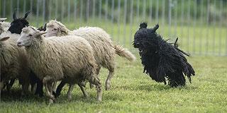 Terelőversenyt tartanak magyar pásztorkutyáknak Szaporcán