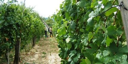 Új szabályokat vezettek be a tíz tonna feletti szőlőértékesítésben