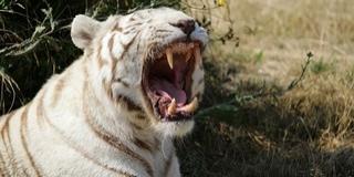 Két fiatal fehér tigris mart halálra egy gondozót