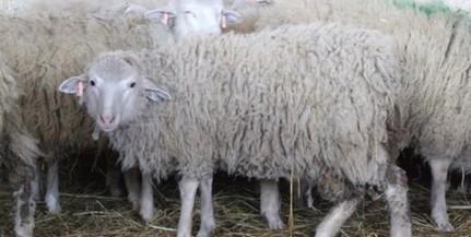 A juhok fotó alapján is képesek felismerni az emberi arcot