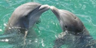 Szivacsot ad választottjának a púposhátú delfin
