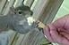 Fagyifüggő mókus